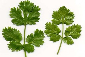 Cilantro Medicinal Uses Ideas