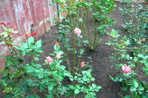 Tips for Growing Roses from Seed