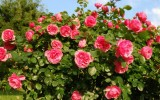<b>Growing Roses from Seed</b>