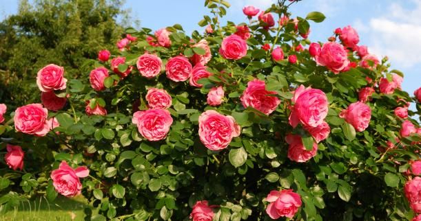 Growing Roses from Seed Benefits