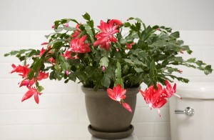Holiday Plants that Are Easy to Plant