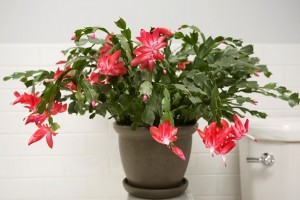 Easy Maintenance Holiday Plants